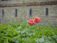 Dänische Tulpen sind auch schön